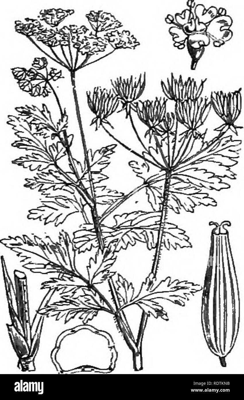 . Illustrations of the British flora: a series of wood engravings, with dissections, of British plants. Botany; Botany. 442. Myrrhis odorata, Scop. 443. Conopodium denudatum, S7ueei Cicely. Koch. C. majus, Lor. ; Carum flexuosum, Fr. Earthnut, Pignut.. Please note that these images are extracted from scanned page images that may have been digitally enhanced for readability - coloration and appearance of these illustrations may not perfectly resemble the original work.. Fitch, W. H. (Walter Hood), 1817-1892; Smith, George Worthington, 1835-1917; Bentham, George, 1800-1884. Handbook of the Briti - Stock Image