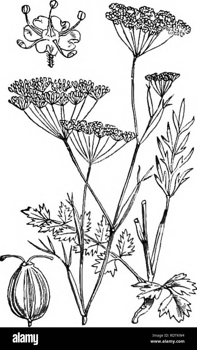 . Illustrations of the British flora: a series of wood engravings, with dissections, of British plants. Botany; Botany. 415. Sium latifolium, L. Water Parsnip.. Lesser S, 417. Pimpinella Saxifraga, L. Bunut Saxifrage.. Please note that these images are extracted from scanned page images that may have been digitally enhanced for readability - coloration and appearance of these illustrations may not perfectly resemble the original work.. Fitch, W. H. (Walter Hood), 1817-1892; Smith, George Worthington, 1835-1917; Bentham, George, 1800-1884. Handbook of the British flora. London, L. Reeve Stock Photo