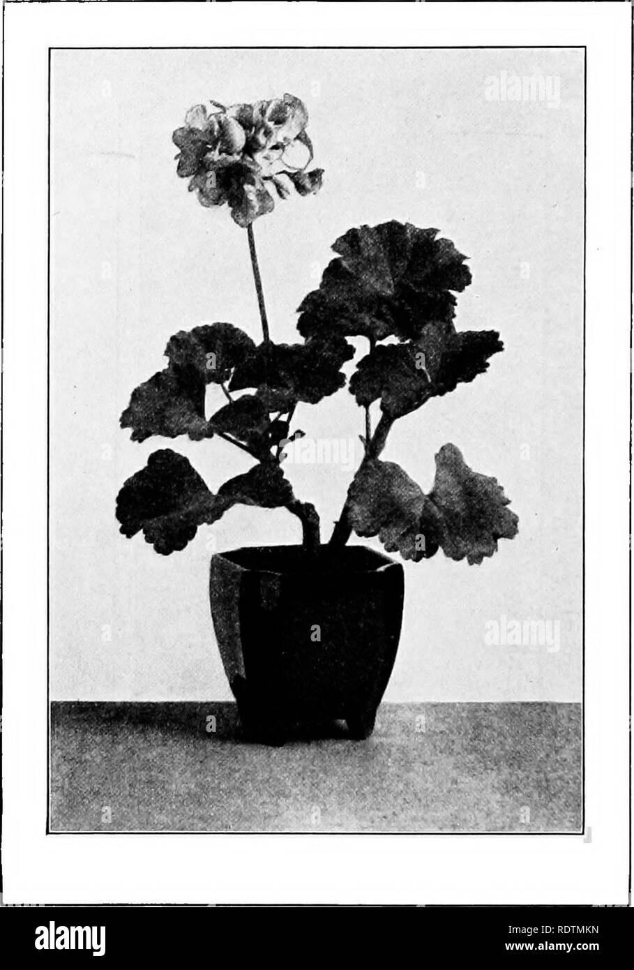 The school garden book  School gardens  Single Geranium in a
