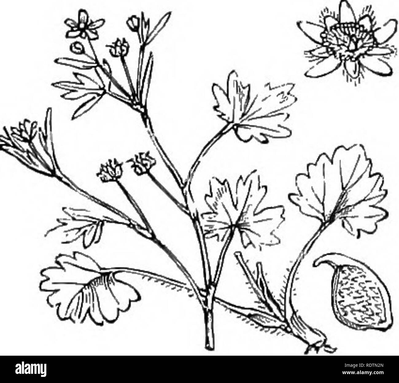 . Illustrations of the British flora: a series of wood engravings, with dissections, of British plants. Botany; Botany. 20. Ranunculus bulbosus, L. Bulbous R., Y. 21. Ranunculus hirsulus, Curt. R. Sardous, Cr., parvulus, L. Hairy R.; Y.. Please note that these images are extracted from scanned page images that may have been digitally enhanced for readability - coloration and appearance of these illustrations may not perfectly resemble the original work.. Fitch, W. H. (Walter Hood), 1817-1892; Smith, George Worthington, 1835-1917; Bentham, George, 1800-1884. Handbook of the British flora. Londo - Stock Image