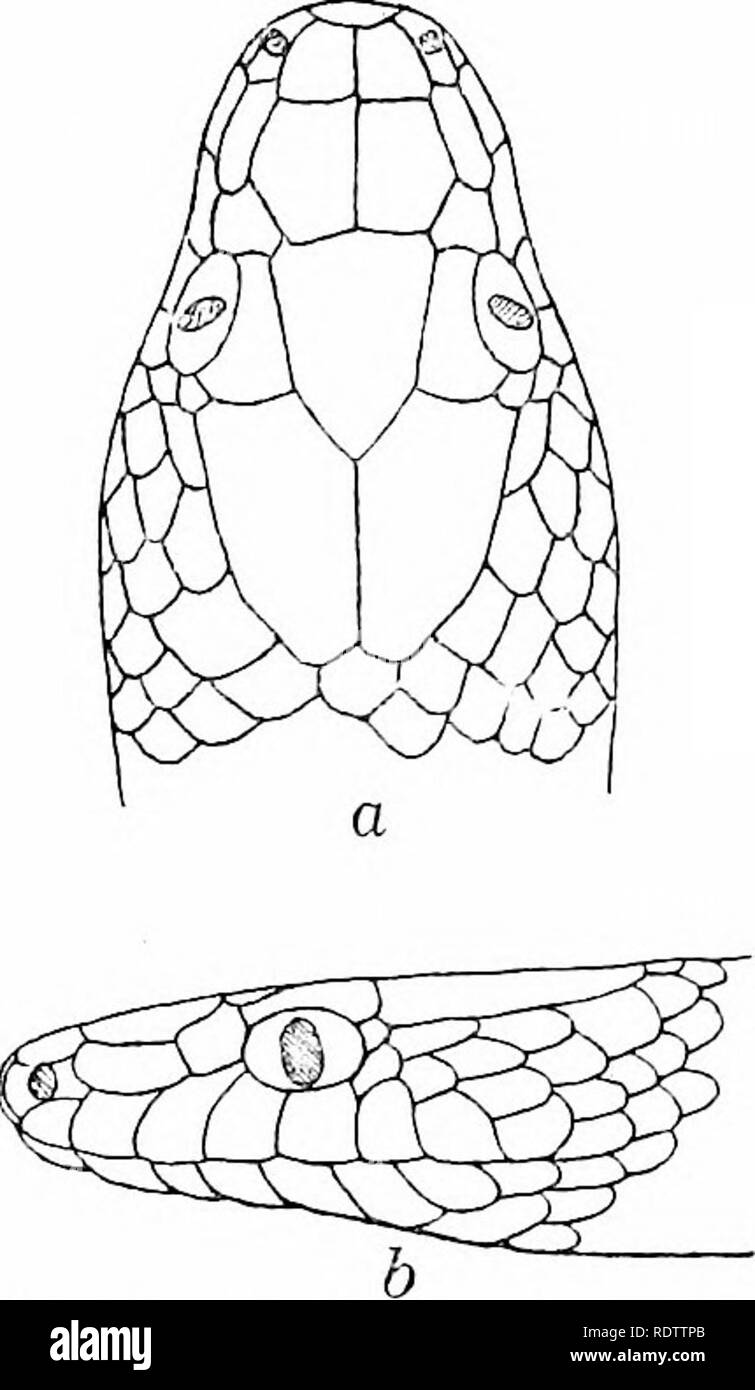 . The snakes of the Philippine Islands. Snakes. OPHITES 121 small nasals, the anterior somewhat the larger; loreal large, sub- rectangular, forming its longest suture with prefrontal, not twice as long as wide; a large preocular extending from frontal to third labial; supraocular smaller than preocular but a little longer; 2 small postoculars sub- equal in size. Temporals , +4; 9 1 r2. Fig. 11 Ophites aulicus (Lin- n^us) ; after Boulenger ; a. head, dorsal view; b, head. lateral view. upper labials, fifth, sixth, seventh, and eighth largest; third, fourth, and fifth labials entering eye; 10 lo - Stock Image