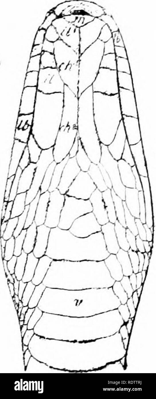 . The snakes of the Philippine Islands. Snakes. Fig. 6. Typical Natricinas head; after Griffin; Dendrelaphis terrificus (Peters), from Griffin's fi^re of D. cxruleatus; ch, chin shield; /, frontal: d. inferior labial; in, internasal ; lb, superior labial; lo, loreal ; m, mental, or symphysial; n, nasal; par, parietal; pf, prefrontal; po, preocular ; pto, postocular; r, roatra) ; :jo, supraofular ; ta, anterior temporal; tp, posterior temporal ; v, ventral. Genus SIBYNOPHIS Fitzinger Sibynophis Fitzinger, Syst. Rept. (1843) 26; Ste.jn'Eger, Proc. U. S. Nat. Mus. 38 (1910) 102. Berpetodryas, par - Stock Image
