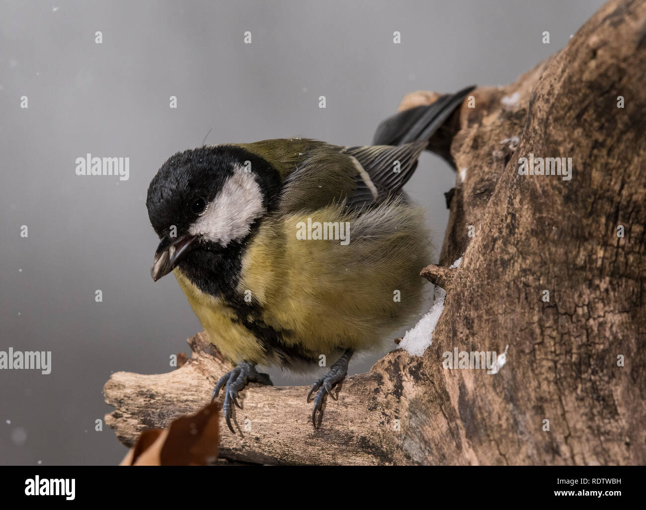 The great tit , songbird, Parus major, sitting on branch Stock Photo