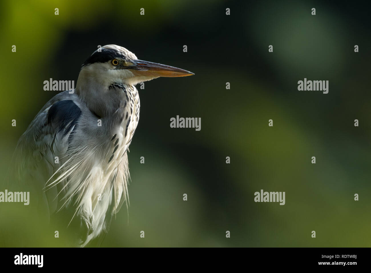 The grey heron, Ardea cinerea Stock Photo