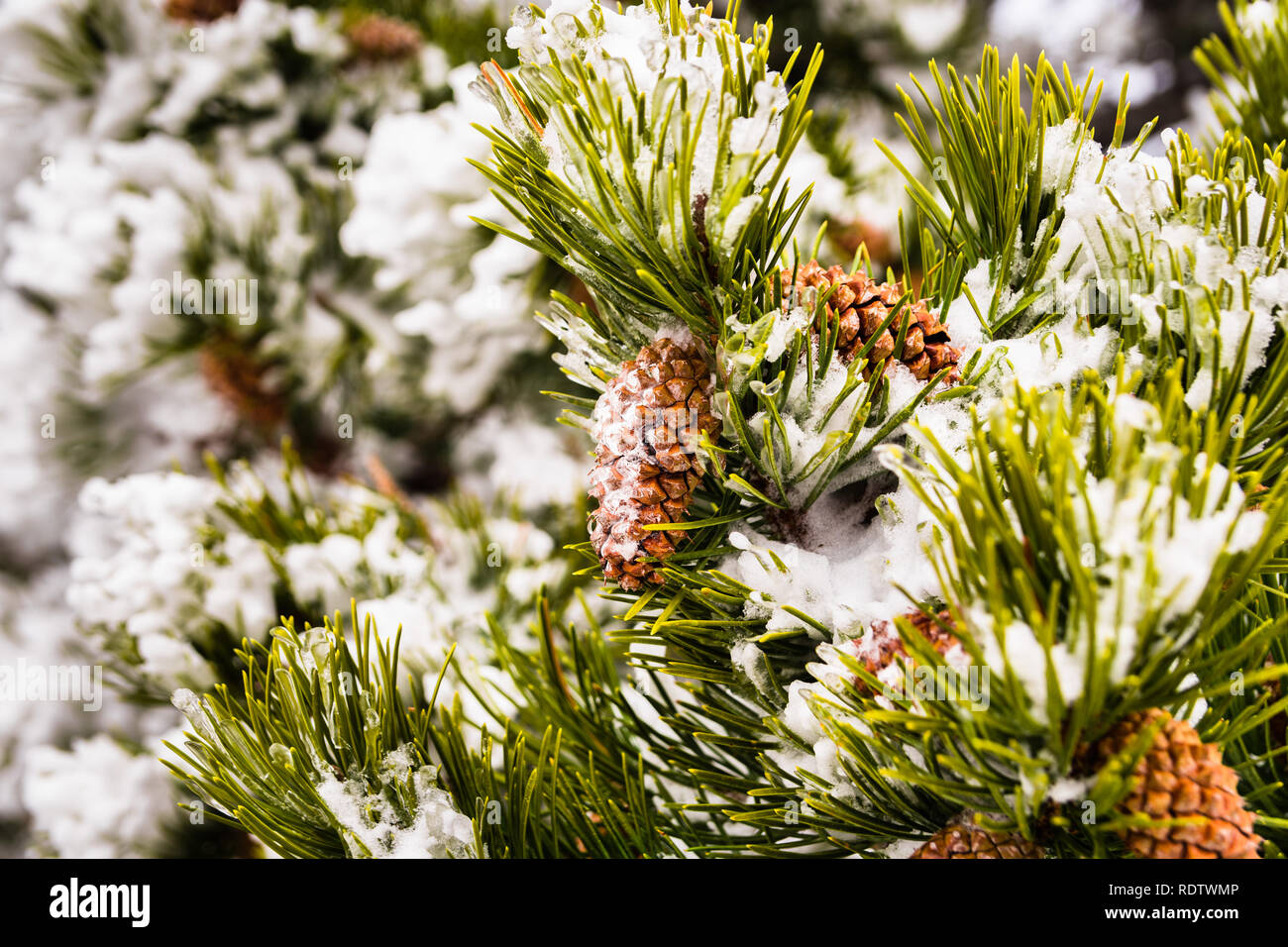 Close up of pine needles and cones covered in ice on a cold winter day, California Stock Photo