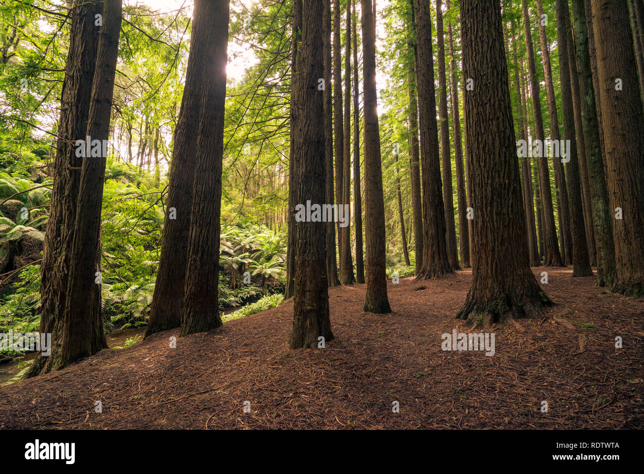A Californian Redwood Forest, Great Otway National Park, Victoria, Australia - Stock Image