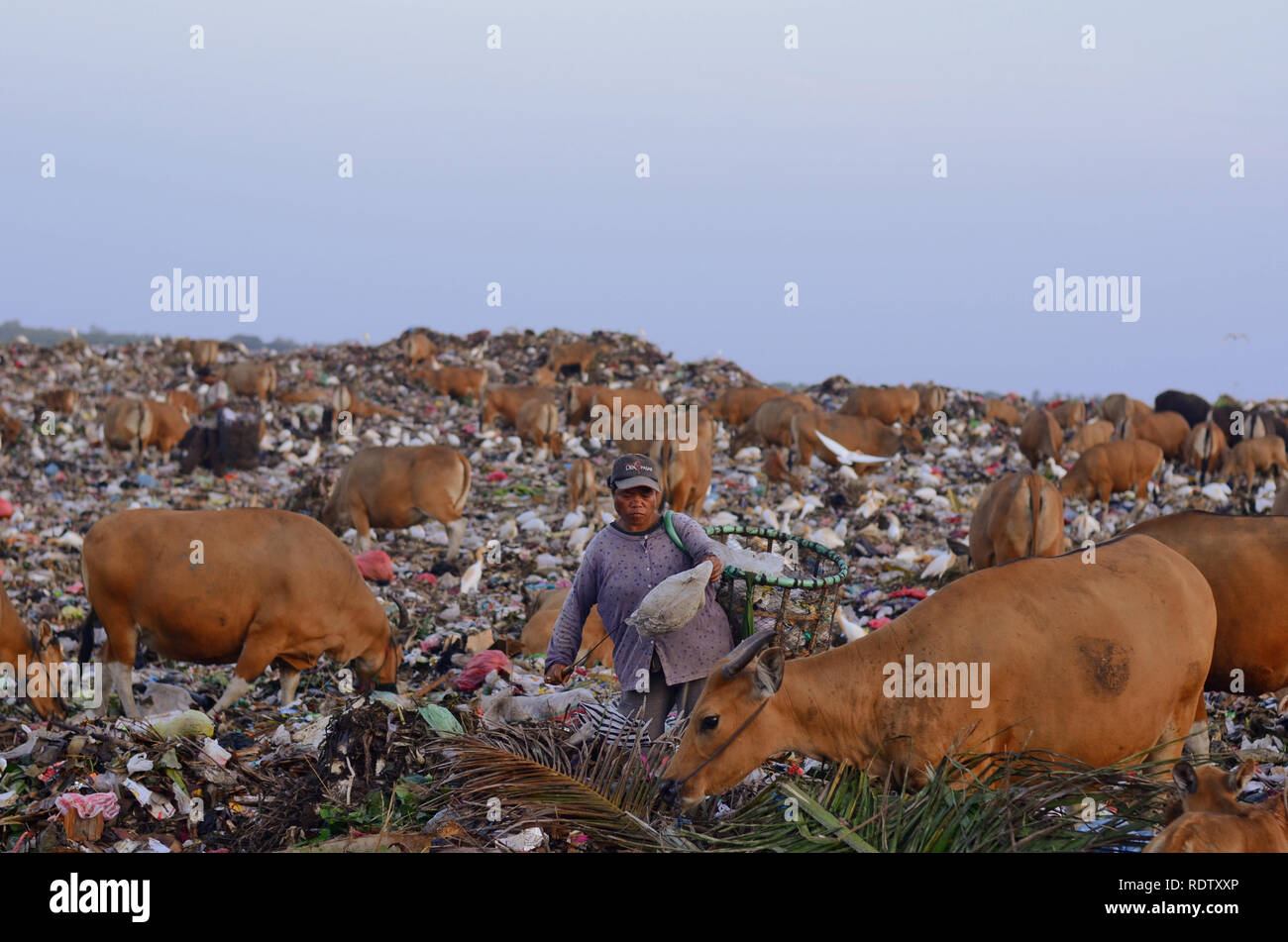 Women collect rubbish at the landfill, surrounded by cows - Stock Image