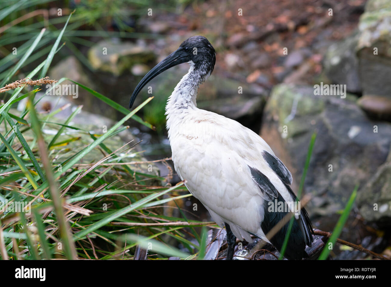 Wild Australian white ibis or Threskiornis molucca bird in a park in Sydney NSW Australia - Stock Image