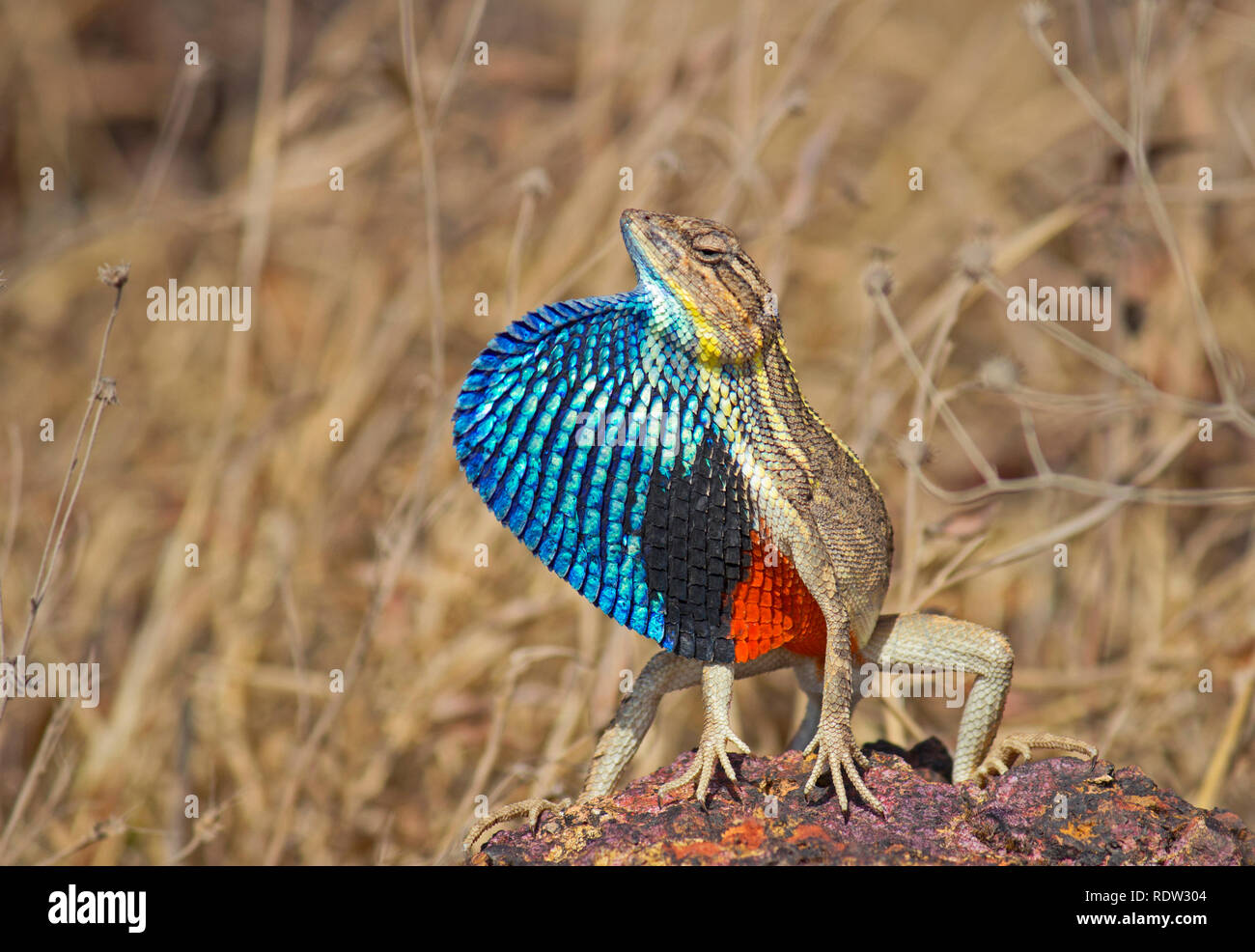 Fan-throated Lizard, Sitana ponticeriana, Satara, Maharashtra, India Stock Photo