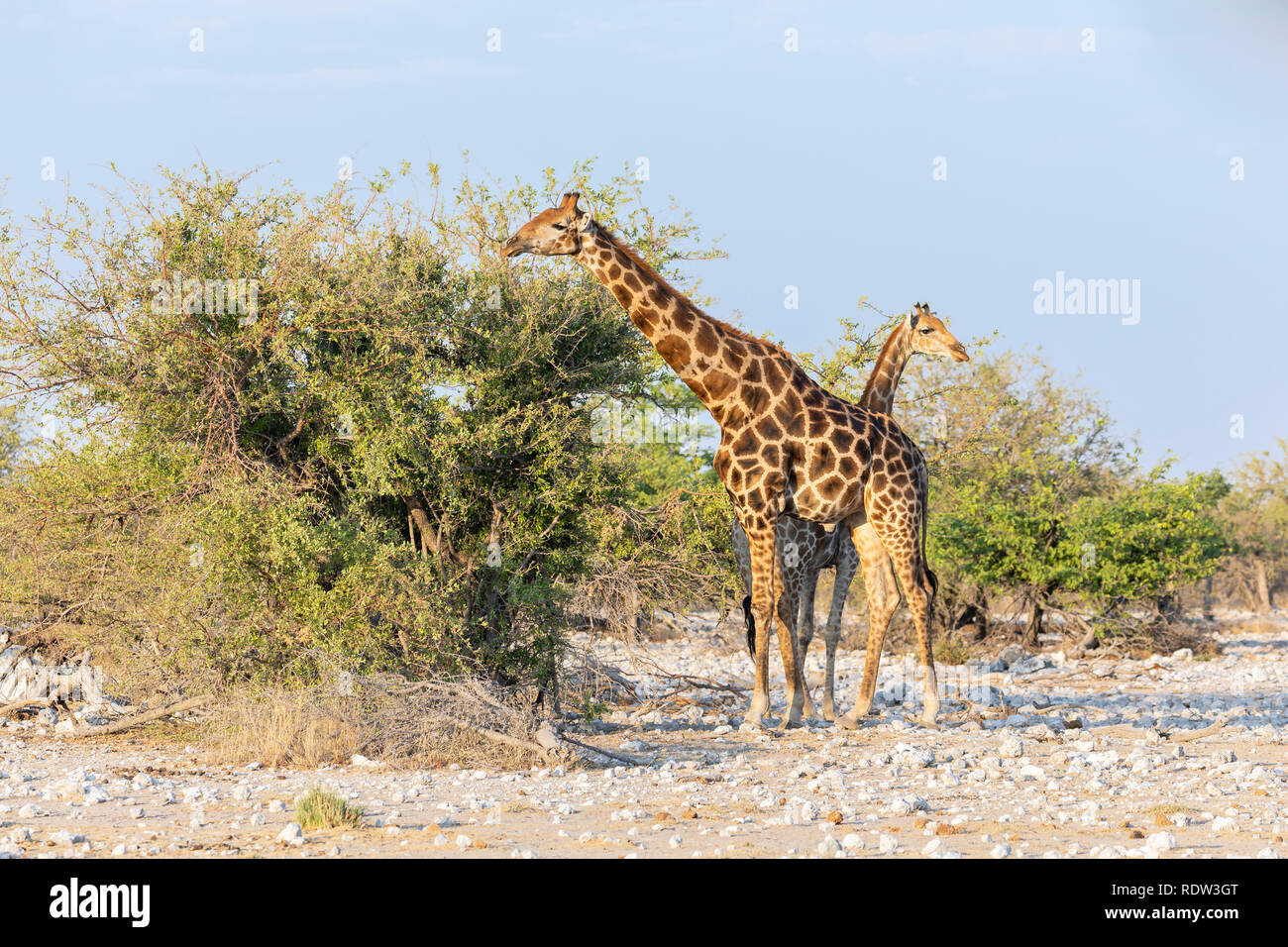 Southern giraffe (Giraffa giraffa). Subspecies - Angolan Giraffe or Namibian Giraffe (Giraffa giraffa angolensis) - Stock Image