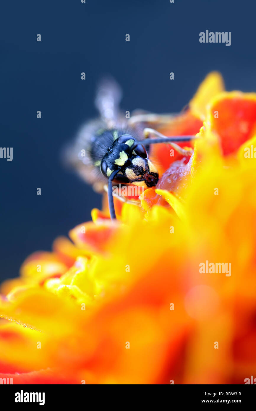 Common yellow-jacket or European wasp, Vespula vulgaris - Stock Image