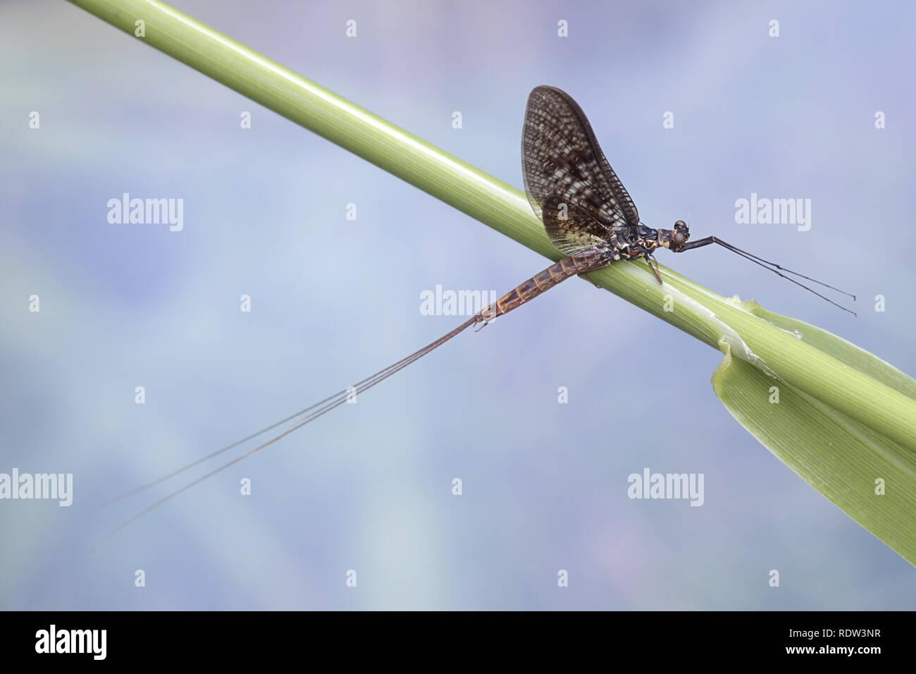 Mayfly, Ephemera vulgata, also called shadfly and fishfly - Stock Image