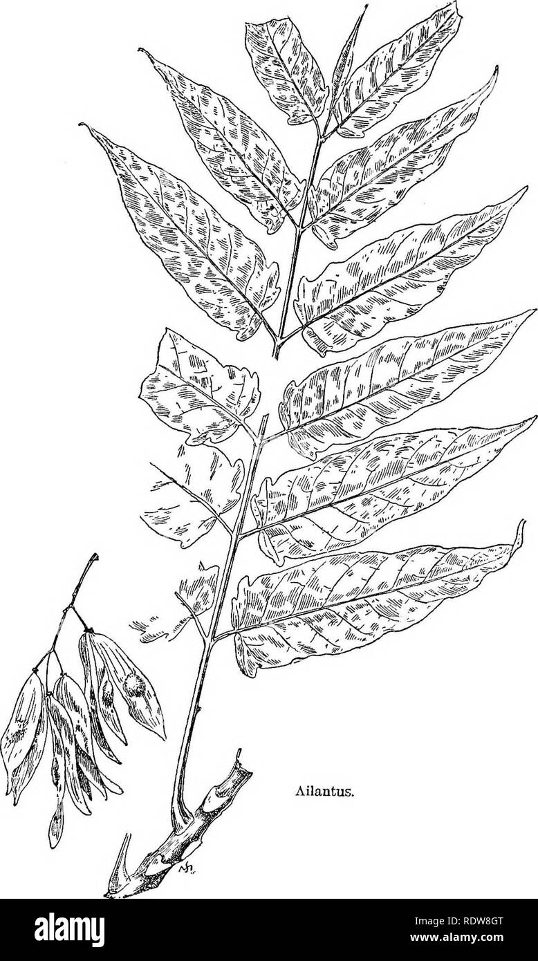 . Familiar trees and their leaves . Trees. Ailantus.. Please note that these images are extracted from scanned page images that may have been digitally enhanced for readability - coloration and appearance of these illustrations may not perfectly resemble the original work.. Mathews, F. Schuyler (Ferdinand Schuyler), 1854-1938. New York : D. Appleton - Stock Image