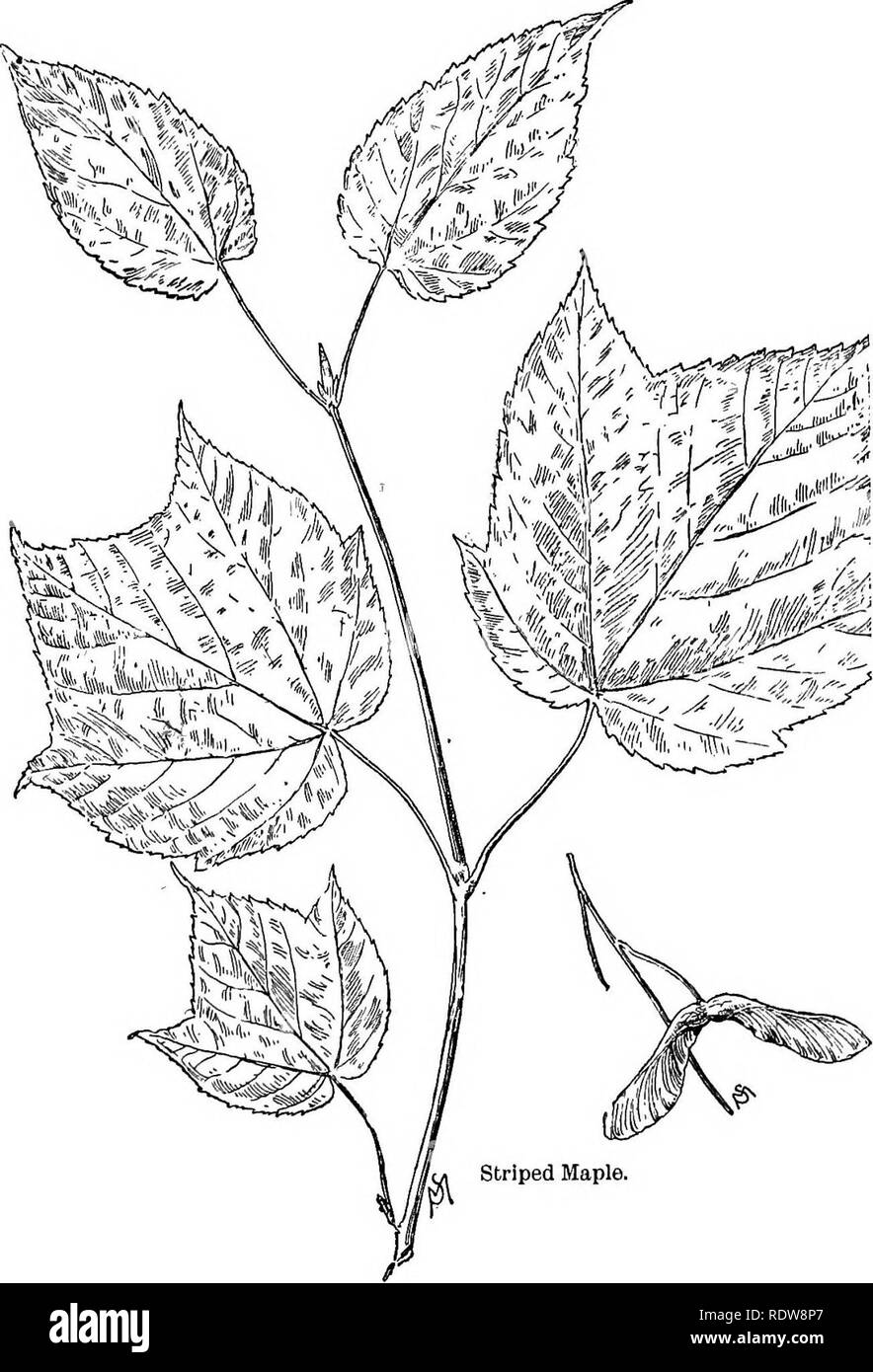 . Familiar trees and their leaves . Trees. 196 FAMILIAR TREES AND THEIR LEAVES.. Please note that these images are extracted from scanned page images that may have been digitally enhanced for readability - coloration and appearance of these illustrations may not perfectly resemble the original work.. Mathews, F. Schuyler (Ferdinand Schuyler), 1854-1938. New York : D. Appleton - Stock Image