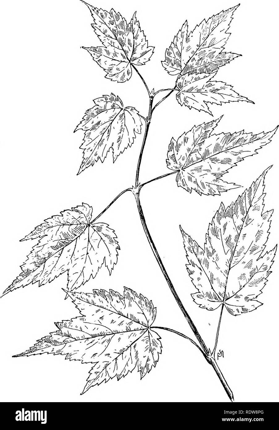 . Familiar trees and their leaves . Trees. THE MAPLES. 193. Mountain Maple,. Please note that these images are extracted from scanned page images that may have been digitally enhanced for readability - coloration and appearance of these illustrations may not perfectly resemble the original work.. Mathews, F. Schuyler (Ferdinand Schuyler), 1854-1938. New York : D. Appleton - Stock Image