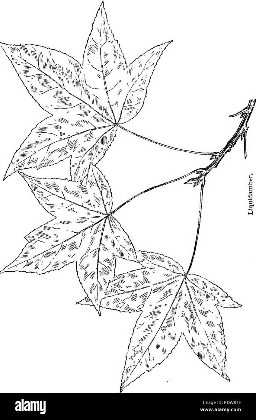 . Familiar trees and their leaves . Trees. BUTTOISrWOOD AND LIQUIDAMBER. I77. Please note that these images are extracted from scanned page images that may have been digitally enhanced for readability - coloration and appearance of these illustrations may not perfectly resemble the original work.. Mathews, F. Schuyler (Ferdinand Schuyler), 1854-1938. New York : D. Appleton - Stock Image