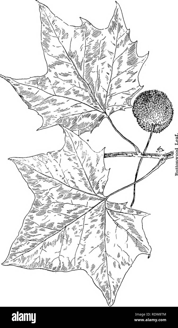 . Familiar trees and their leaves . Trees. 174 FAMILIAR TREES AND THEIR LEAVES.. Please note that these images are extracted from scanned page images that may have been digitally enhanced for readability - coloration and appearance of these illustrations may not perfectly resemble the original work.. Mathews, F. Schuyler (Ferdinand Schuyler), 1854-1938. New York : D. Appleton - Stock Image