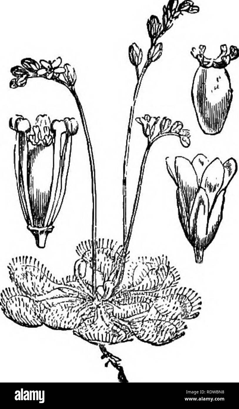 . Flowers, fruits and leaves. Botany; Flowers; Seeds; Leaves. 134 DROSERA AND PLANTAGO. [chap.. Please note that these images are extracted from scanned page images that may have been digitally enhanced for readability - coloration and appearance of these illustrations may not perfectly resemble the original work.. Lubbock, John, Sir, 1834-1913. London : Macmillan - Stock Image
