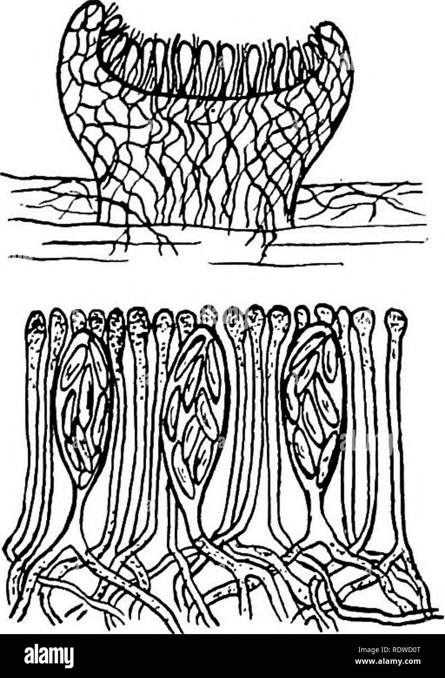 . Botany, with agricultural applications. Botany. 382 THALLOPHYTES breaks through and appears on the surface of the plant body as a cup or disk. Besides being the pioneer plants on rocks and other places where they form soil and thus make it possible for higher plants to get a start, they are also of some economic importance in other ways. In northern re- gions the Lichen known as Rein- deer Moss is an important food for animals. Some forms are used as food by man. Although not parasites, they sometimes are harmful to plants upon which they grow. When growing on the twigs of fruit trees, they  - Stock Image