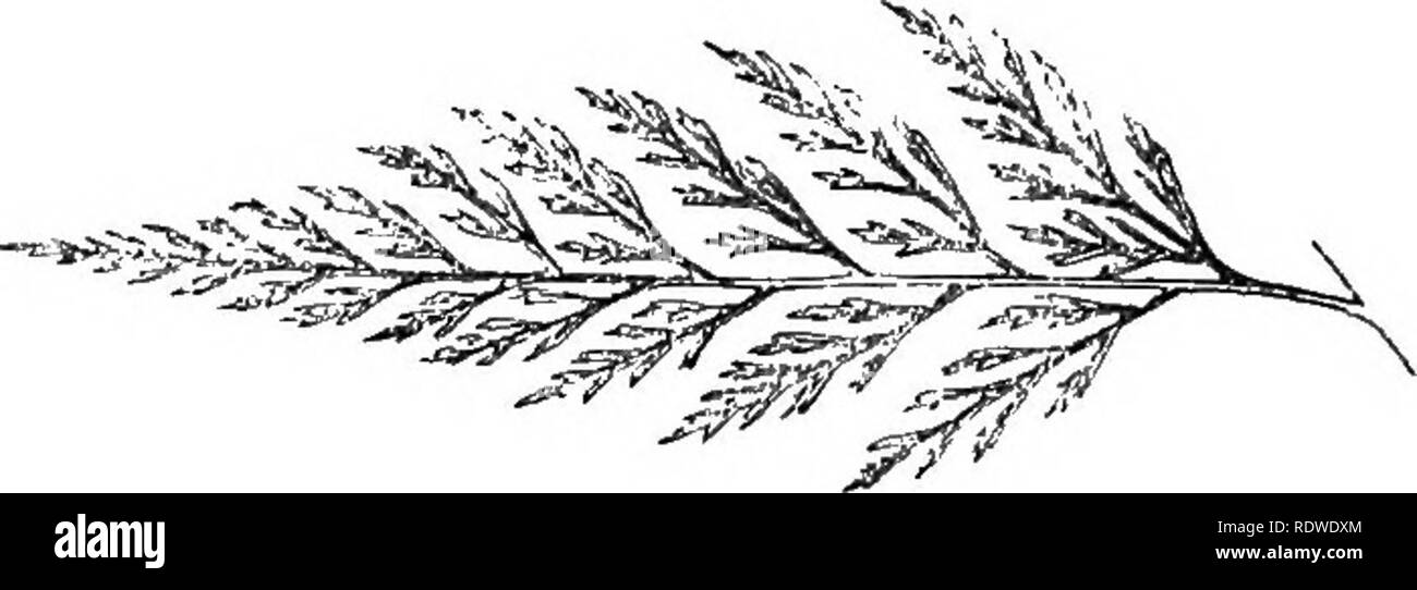 """. A natural history of new and rare ferns: containing species and varieties, none of which are included in any of the eight volumes of """"Ferns, British and exotic,"""" amongst which are the new Hymenophyllums and Trichomanes. With col. illus. and wood-cuts. Ferns. NEW AND RAEE fEENS.. Pinna of m;ture Frond—upper side. ONYCHIUM AURATUM. Kaulfuss. Hooker. Moore. PLATE I. Lomaria aurea, '' caruifolia, """" decomposita, Allosorus auratus, Pteris chrysocarpa, """" siliculosa. Wallich. Wallich. DoN.t' Pkesl. HOOKBB AND GeBVILLE. Desvaux. Onycliium—From onyx—a claw, in reference to the sha Stock Photo"""