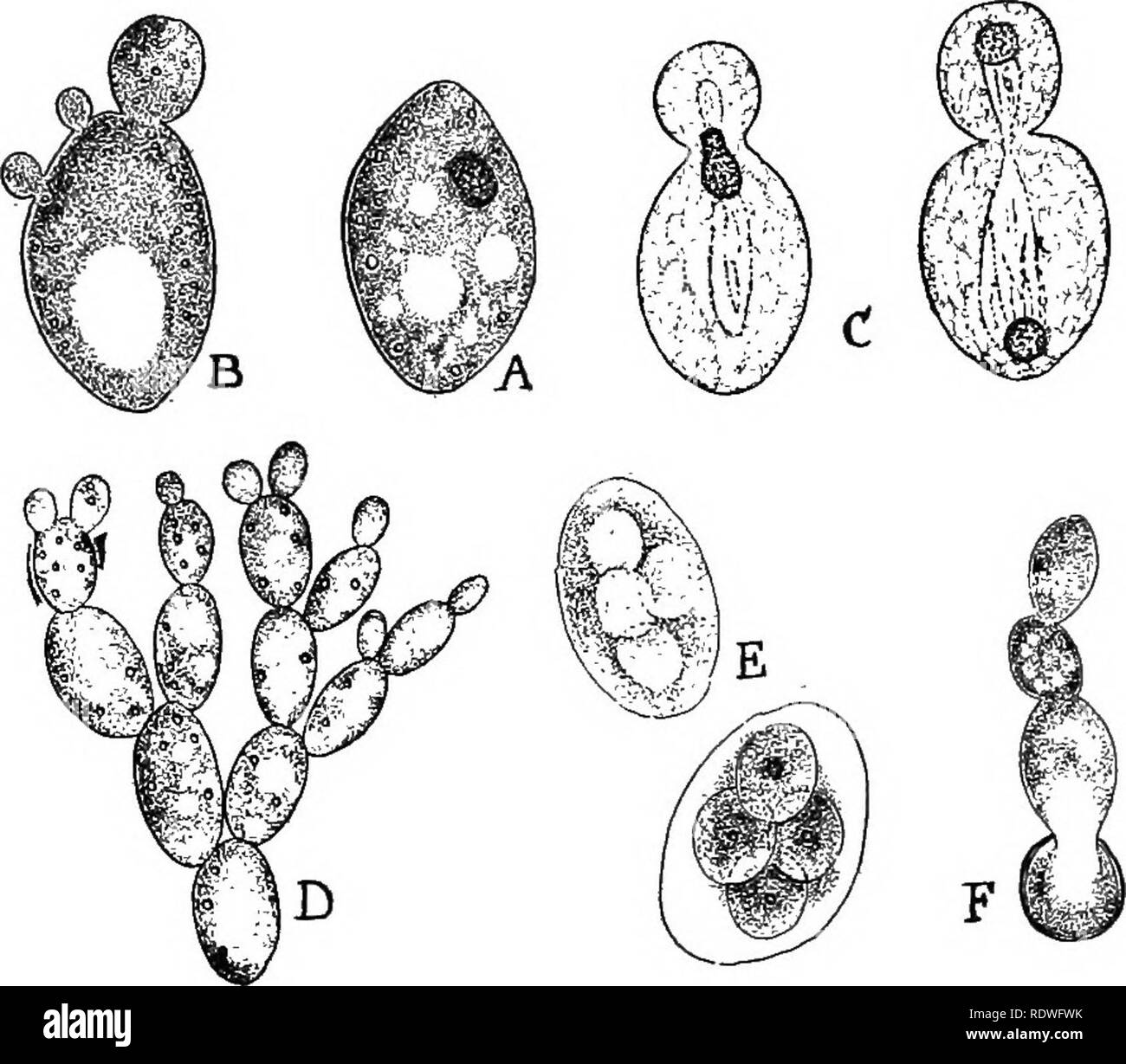 . Nature and development of plants. Botany. DEVELOPMENT OF PLANTS 249 freed by the decay of the ascus and when conditions are favorable, grow into the characteristic yeast cells, as shown in Fig. 161, F. (a) Fermentation.—These microscopic plants must be num- bered among those plants that are of the greatest economic value. Their importance is due to the fact that they decompose sugars upon which they feed into CO2 and alcohol, a change called fer- mentation. The extensive brewing and distilling industries all. Fig. 161. The yeast plant, Saccharomyces: A, single plant, B, plant producing three - Stock Image