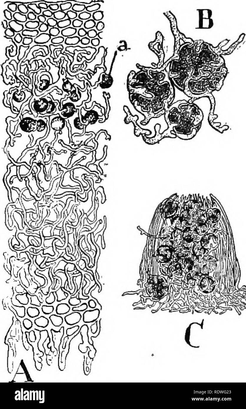 . Nature and development of plants. Botany. DEVELOPMENT OF PLANTS 235 hyphae, in fact, a miniature lichen (Fig. 143, C). In some species the soredia form a rather powdery or granular coating on the upper surface of the lichen, and in other cases they are developed within the lichen. These bodies are easily scattered by the wind when the lichens are dry and under favorable conditions grow into new lichens. Reproduction is also effected by means of ascospores that are developed as in the cup fungi. The female. Please note that these images are extracted from scanned page images that may have bee - Stock Image