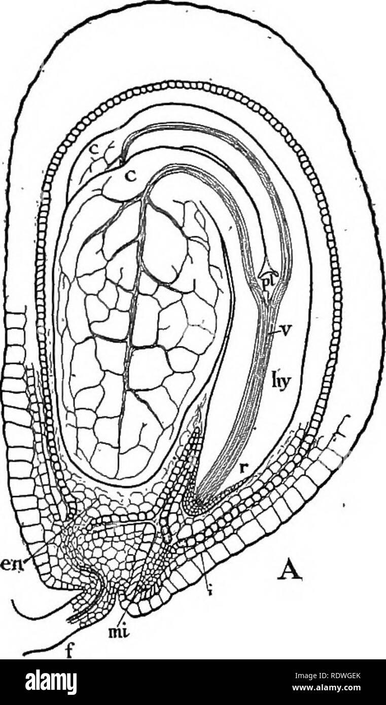 . Nature and development of plants. Botany. 126 STRUCTURE OF THE SEED ovule, and often in the pistil and surrounding parts. Frequently the endosperm grows so extensively as to absorb and replace the cells of the nucellus and thus comes to occupy all the space within the coats of the integument, as in the castor bean, morning glory, onion, etc. (Fig. 85, B). The embryo may remain comparatively. Please note that these images are extracted from scanned page images that may have been digitally enhanced for readability - coloration and appearance of these illustrations may not perfectly resemble th - Stock Image