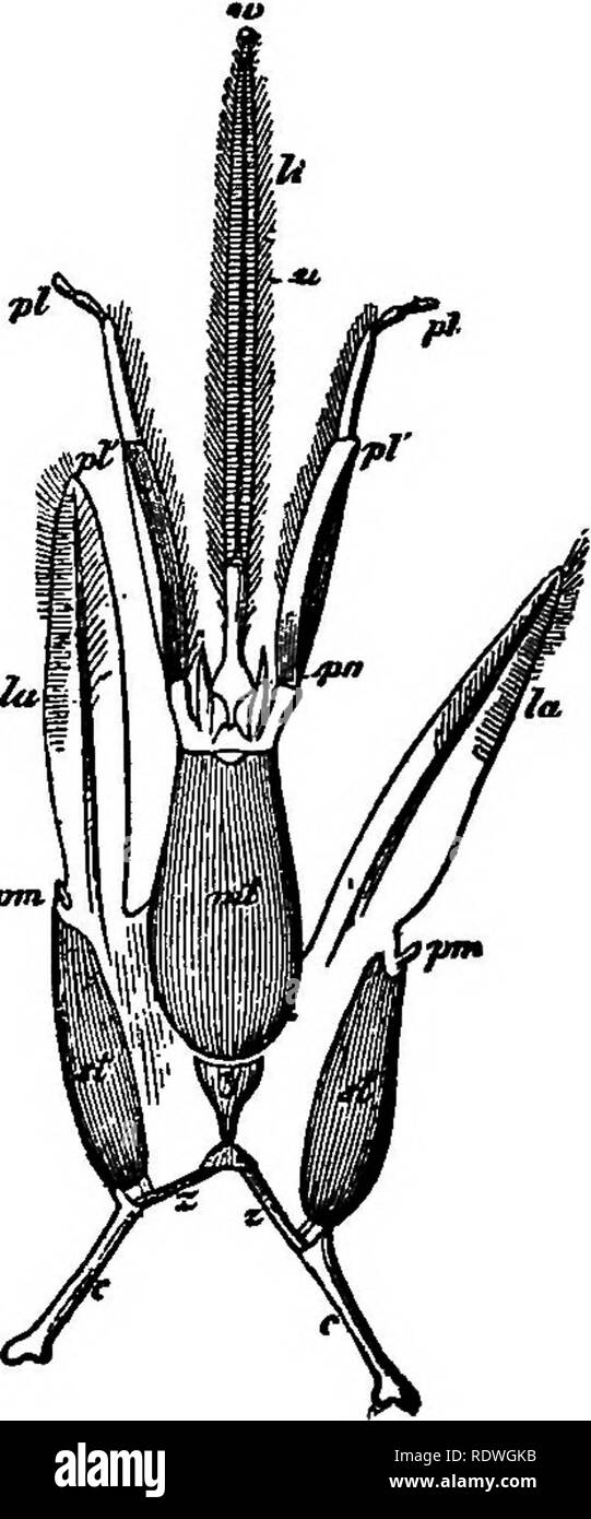. Flower ecology. Plant ecology; Fertilization of plants. FIG. 11. Fig. 11.—Left hand Ague, head of Bombtis aororum 0 with mouth parts separ- ated, magDified five times. Right hand figure that of hive-bee in the same position seen from below, magnified twelve times; pi labial palpi modified into a tongue sheath, y submentum (fulcrum,) zz^ retractors, i. e. those ehitinous pieces which unite the submentum with the ends of the cardines, and as they revolve backwards round the ends of the cardines, retract the mentum and its appendages, U ligula, pm maxillary palpi, md mandibles, o eyes, Ibr labr - Stock Image