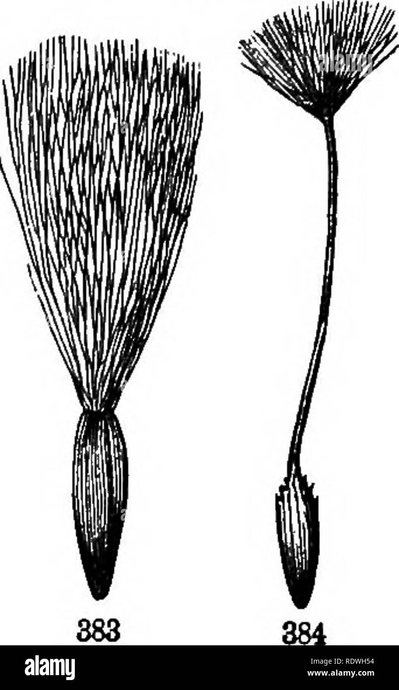 """. Gray's school and field book of botany. Consisting of """"Lessons in botany,"""" and """"Field, forest, and garden botany,"""" bound in one volume. Botany; Botany. 380 384), and the like, the acheuium as it matures tapers upwards iuto a sleudei beak, like a stalk to the pappus. 361. A Cremooarp (Fig. 385), a name given to the fruit of Umbelh ferse, consists as it were of a pair of akenes united com- pletely in the blossom, but splitting apart when ripe 