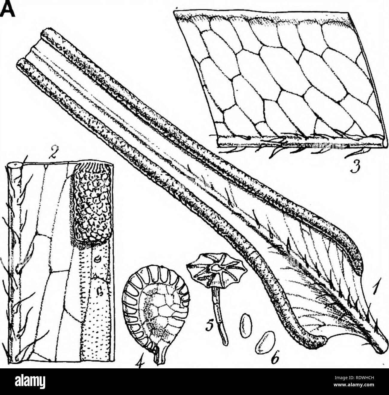. Index filicum: a synopsis, with characters, of the genera, and an enumeration of the species of ferns, with synonymes, references, &c., &c. Ferns. :PMeXYn I. Please note that these images are extracted from scanned page images that may have been digitally enhanced for readability - coloration and appearance of these illustrations may not perfectly resemble the original work.. Moore, Thomas, 1821-1887. London, W. Pamplin - Stock Image