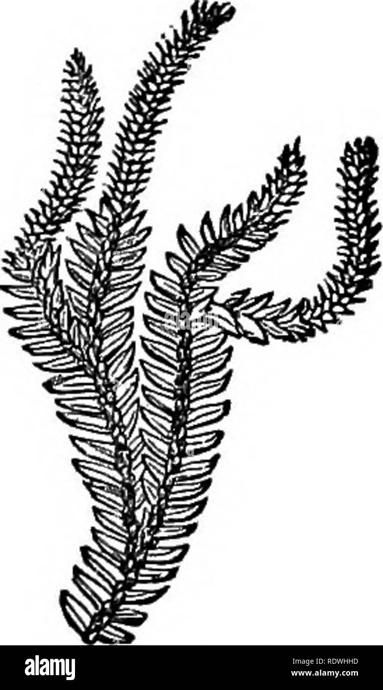 . Ferns: British & foreign. The history, organography, classification, and enumeration of the species of garden ferns with a treatise on their cultivation, etc. etc. Ferns. AN ENUMERATION OF CULTIVATED JEHNS. 277 7. L. fastigiatum, B. Br.—New Zealand. 8. L. complanatum, Linn. (PVwm. Fit t. 166, /. B); SchJe. FU. i. 163.—Temperate Zone of the Northern Hemi- sphere. 9. L. dendroideum, Michas.; Willd. Sp. PI. 5, p. 21.—^North America. 10. L. cernuum, lAwn. (Bheed. Mai. t. 2, t. 39); Burm. FT. Zey-. t. 66 {Plum. FU. 1.155, /. 4).—Tropics; verj general. *** Steins pendulous. (Epiphytal.) 11. Ii - Stock Image
