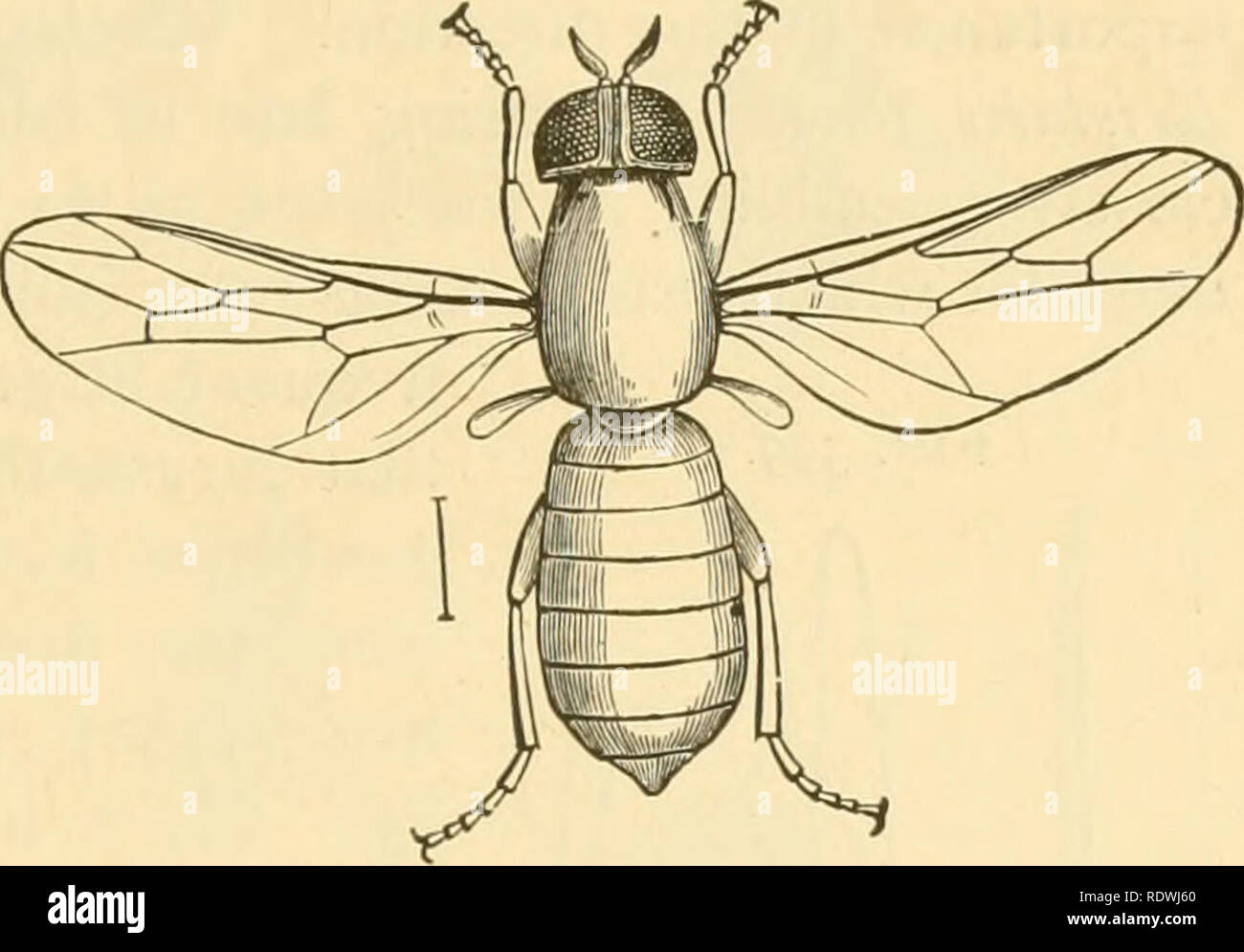 """. Economic entomology for the farmer and fruit-grower. Beneficial insects. THE INSECT WORLD. 347. Scenopinus fenestralis. of fact it is predaceous in habit, and feeds upon the species really infesting carpets and similar material. Thus, """"moths,"""" the larvae of the '' carpet-beetle,"""" """" fish-moths,'' and numerous other insects likely to occur in such situa- ^^^- 397- tions are destroyed by it. From this larva there comes in due time a small blue fly, a member of the family Scenopinida, slender and somewhat flattened in appearance, with yel- low or reddish legs, and this may be - Stock Image"""
