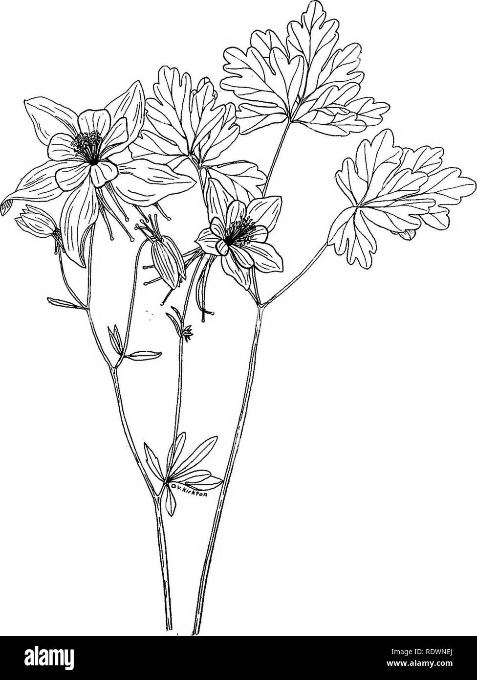 . Wild flowers and trees of Colorado. Botany. 22 WILD FLOWERS AND TREES OF COLORADO. Fig. 23.—Blue Columbine (Aquilegia coerulea) Everyone knows the Colorado state flower. It grows chiefly in the montane and sub-alpine zones. A yellow columbine occurs in southern Colorado and a red-and-yellow species on the western slope. (One-half natural size.). Please note that these images are extracted from scanned page images that may have been digitally enhanced for readability - coloration and appearance of these illustrations may not perfectly resemble the original work.. Ramaley, Francis, 1870-1942.  Stock Photo
