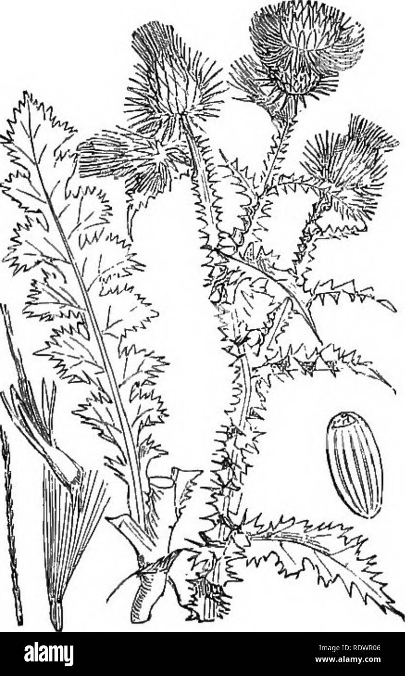 . Illustrations of the British flora: a series of wood engravings, with dissections, of British plants. Botany; Botany. 558. CavcUius Maiianus, L. Silybvim Ma., Gairt. Milk Thistle; /'.. 560. CarcUuis acanthoides, L. C. crispus, L. Welted Thistle ; P.. Please note that these images are extracted from scanned page images that may have been digitally enhanced for readability - coloration and appearance of these illustrations may not perfectly resemble the original work.. Fitch, W. H. (Walter Hood), 1817-1892; Smith, George Worthington, 1835-1917; Bentham, George, 1800-1884. Handbook of the Briti - Stock Image