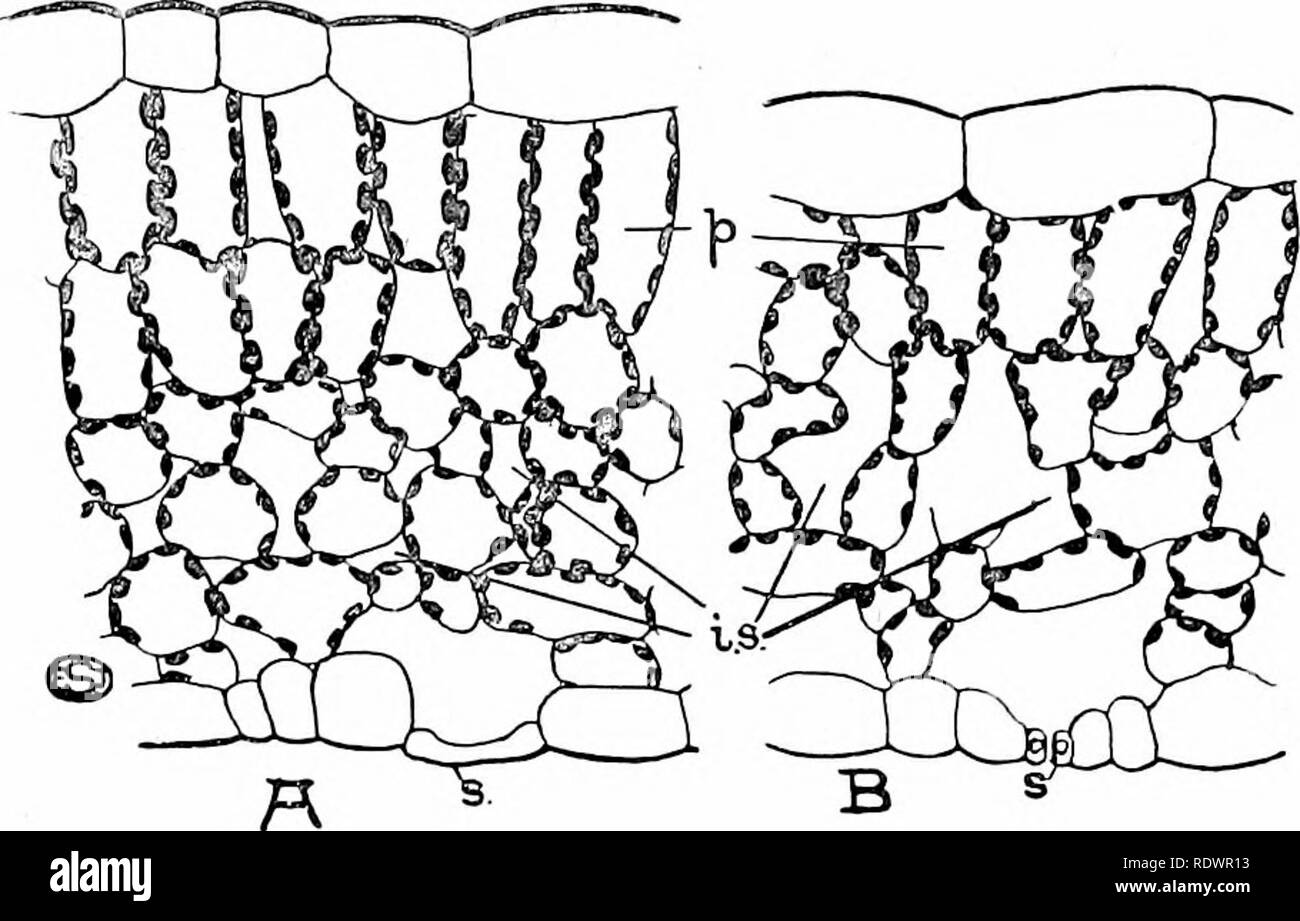 . An introduction to the structure and reproduction of plants. Plant anatomy; Plants. SUN- AND SHADE-LEAVES 169 fresher green, owing to little decomposition of the chlorophyll (through the absence of strong light) and the greater translu- cency of the leaf ; moreover, chloroplasts are not infrequent in the epidermal cells (e.g. Bracken). In the case of hairy leaves (e.g. Yellow Deadnettlc, Dog's Mercury) the production of hairs is usually much reduced in the shade-form. A similar difference, between the exposed and sheltered parts of the same plant, is exemplified by the more numerous hairs on - Stock Image