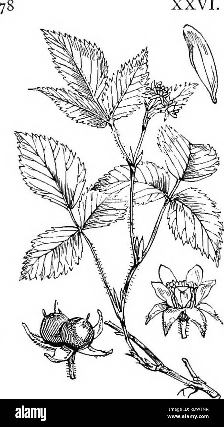 . Illustrations of the British flora: a series of wood engravings, with dissections, of British plants. Botany; Botany. XXVI. ROSACE/E. [I. Dicotyledons 310. Rubus saxatilis, L. Stone R.. Please note that these images are extracted from scanned page images that may have been digitally enhanced for readability - coloration and appearance of these illustrations may not perfectly resemble the original work.. Fitch, W. H. (Walter Hood), 1817-1892; Smith, George Worthington, 1835-1917; Bentham, George, 1800-1884. Handbook of the British flora. London, L. Reeve - Stock Image