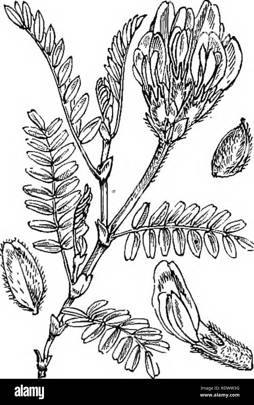 . Illustrations of the British flora: a series of wood engravings, with dissections, of British plants. Botany; Botany. 268. Anthyllis Vulneraria, L. 269. Astragalus danicus, Retz. Kid?tey Vetch, Lady^s-fingers; Y,-R, A. hypoglottis, DC- Purple A. F 2. Please note that these images are extracted from scanned page images that may have been digitally enhanced for readability - coloration and appearance of these illustrations may not perfectly resemble the original work.. Fitch, W. H. (Walter Hood), 1817-1892; Smith, George Worthington, 1835-1917; Bentham, George, 1800-1884. Handbook of the Briti - Stock Image