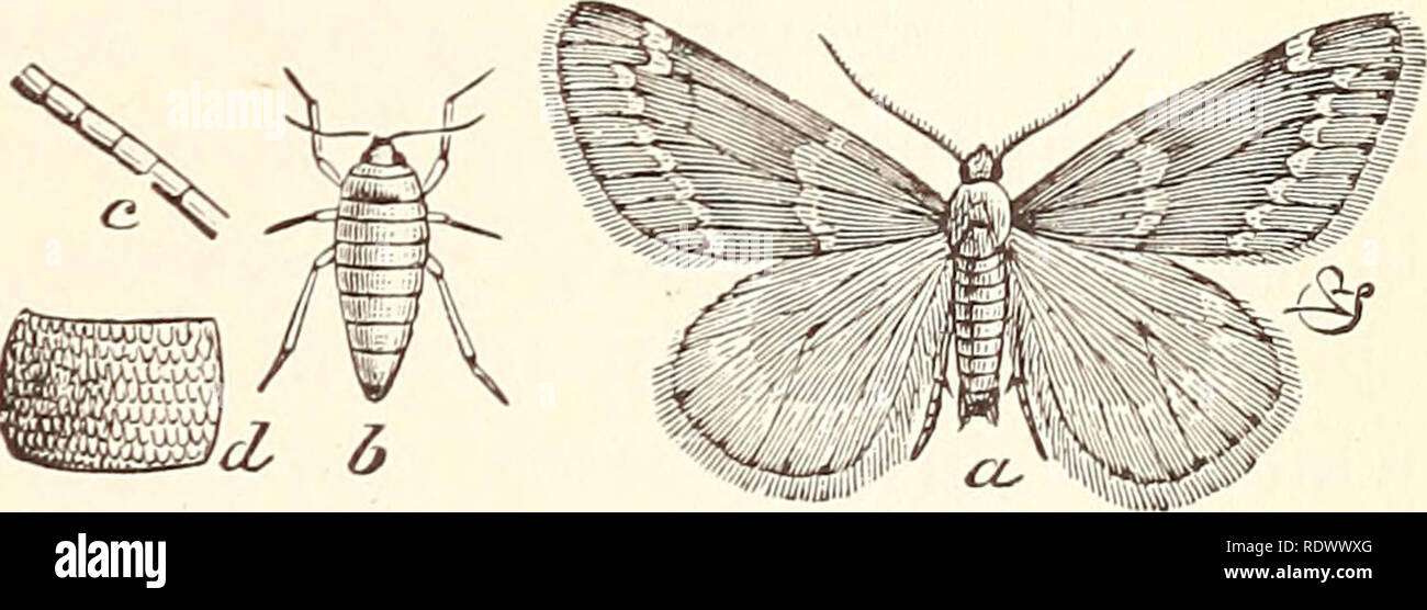 """. Economic entomology for the farmer... THE INSECT WORLD. become so, there would be no trouble in protecting the plants by means of the arsenites. Now we reach the family GeometridcB, in which the larvae lack all save one or at most two pair of false or abdominal legs. In moving they first extend the body to its full length, then bring the posterior end close to the front legs, looping the body in the centre, then stretch out again and repeat the procedure, whereby they have gained the names '' span-worms,"""" """" loopers,'' or ''measuring-worms,"""" and, indirectly, the scientific term - Stock Image"""