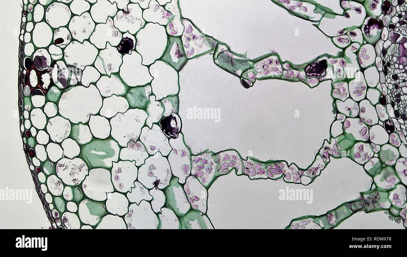 Aquatic Herbaceous Dicot Stem Cortical Air Chambers in Myriophyllum (37148301541). - Stock Image