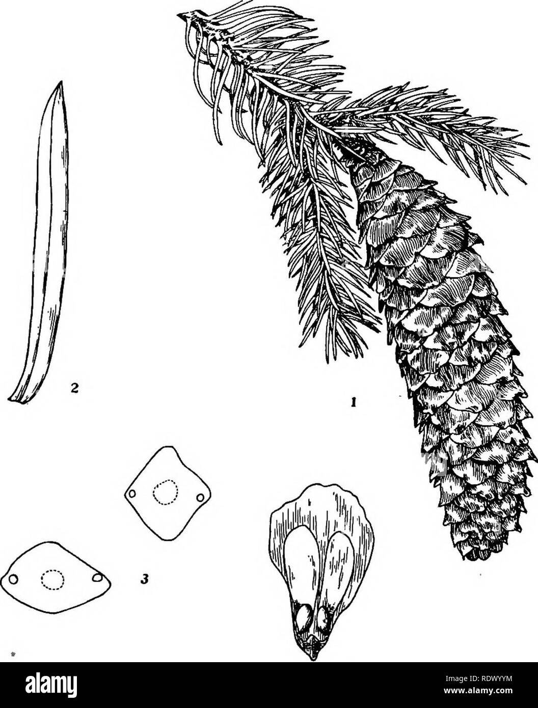 . Michigan trees; a handbook of the native and most important introduced species. Trees. Norway Spruce. 1. Branchlet with partly opened cone, x J4. 2. Leaf, X 3. 3. Cross-sections of leaves, enlarged. 4. Cone-scale with seeds, x i. -24 —. Please note that these images are extracted from scanned page images that may have been digitally enhanced for readability - coloration and appearance of these illustrations may not perfectly resemble the original work.. Otis, Charles Herbert, 1886. Ann Arbor, The Regents - Stock Image