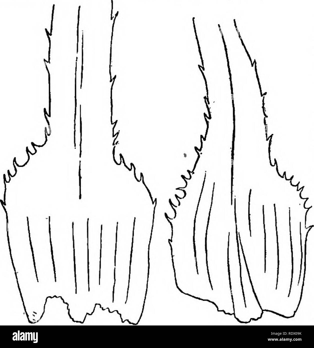""". """"On the structure, the occurrence in Lancashire, and the source of origin of Naias graminea, Del., var. Delilei, Magnus."""". Botany. Fia. 55. pair of leaves of each fascicle, and the sheaths of the pair embrace the leaf; most often these are the only leaves in the fascicle which possess auricles (see Delile's figure on Plate 250, fig. 4). The next pair of leaves has auricles which, when present, form a more acute sinus with the lamina (fig. 55); but as we approach the centre of each fascicle the leaves are destitute of auricles, and pass into short lanceolate bracts, in the midst of  - Stock Image"""