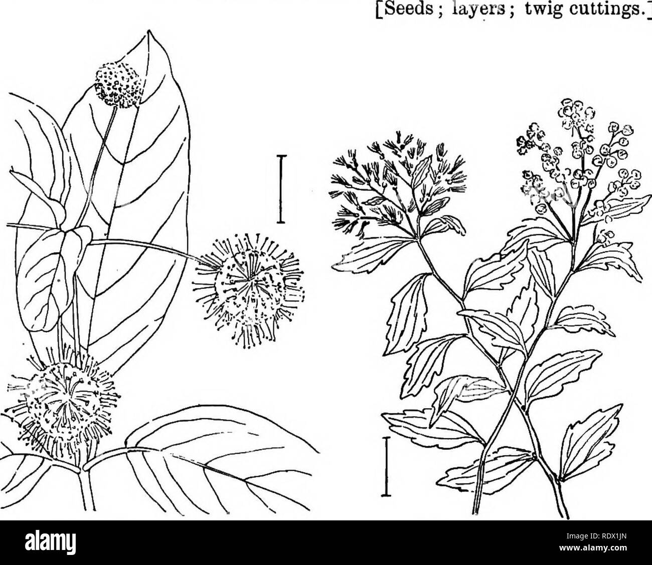 . Ornamental shrubs of the United States (hardy, cultivated). Shrubs. CEPHALANTHUS 241 border (salver- or bell-shaped) of 6 or more lobes. The Gardenias proper have a 1-celled pod. They are hardy only in the South. Cape 'Jasmine' (399) —Gardenia jasminoides—has a calyx with 5 slen- der teeth and distinct ridges along the sides of the united portion. The corolla, in the usually cultivated variety, is fully double with many white waxy lobes. There are many varieties under many names, differing in the width of the leaves and the height and habit of plant growth. HaVdy to the Carolinas and extensi - Stock Image