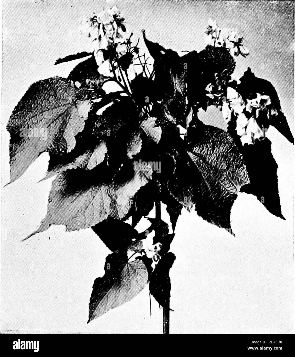 """. The flora of the Algeria. Botany. """"Wigandia ,Vigieri NO — Hydrophyllaceee Tall herbs with large hairy leaves and dark blue flowers.. Sparmannia Africana NO— Tiliaceas Handsome shrub or small tree with conspicuous white Howers. (82.). Please note that these images are extracted from scanned page images that may have been digitally enhanced for readability - coloration and appearance of these illustrations may not perfectly resemble the original work.. Gubb, Alfred S. (Alfred Samuel), 1857-. Alger, Imprimerie Alge?rienne; London, Ballie?re, Tindall & Cox - Stock Image"""