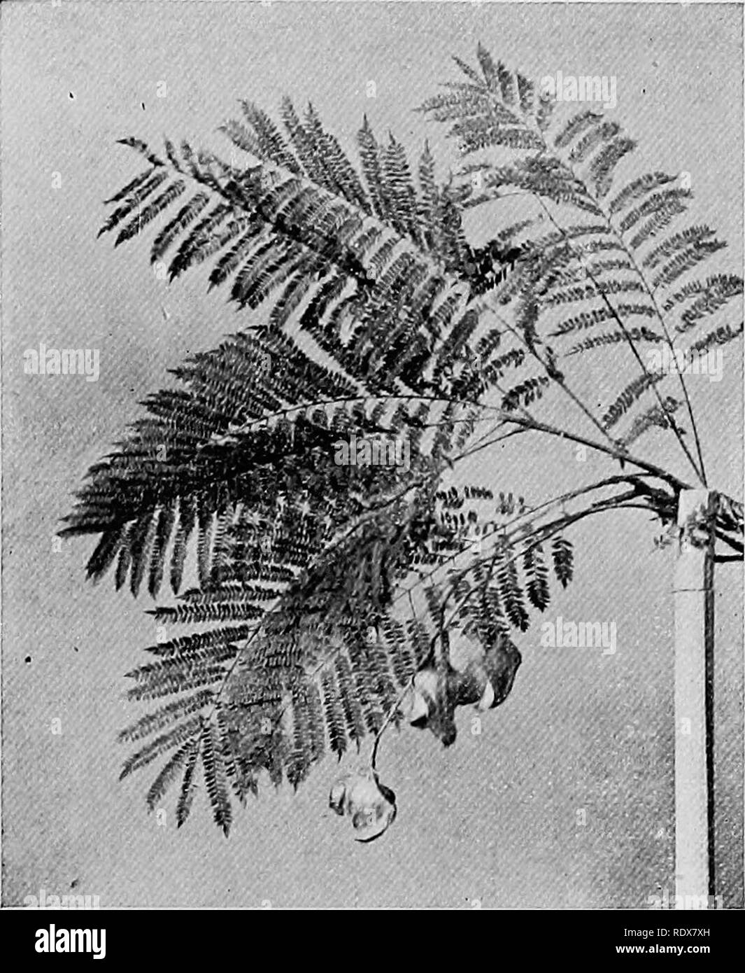 . The flora of the Algeria. Botany. Eucalyptus Eucalyptus Rostrata NO — Myrtaceas Red Gum Tree. Jacaranda Jacaranda Mimossefolia NO — Bignoniaceffi Jacaranda Fine handsome'tree with fern-lilte foliage ; in spring it bears long pendant clusters of viplet flowers, beautiful to behold ; the seed pods are bi'oad, short and twisted. (18). Please note that these images are extracted from scanned page images that may have been digitally enhanced for readability - coloration and appearance of these illustrations may not perfectly resemble the original work.. Gubb, Alfred S. (Alfred Samuel), 1857-. Alg - Stock Image