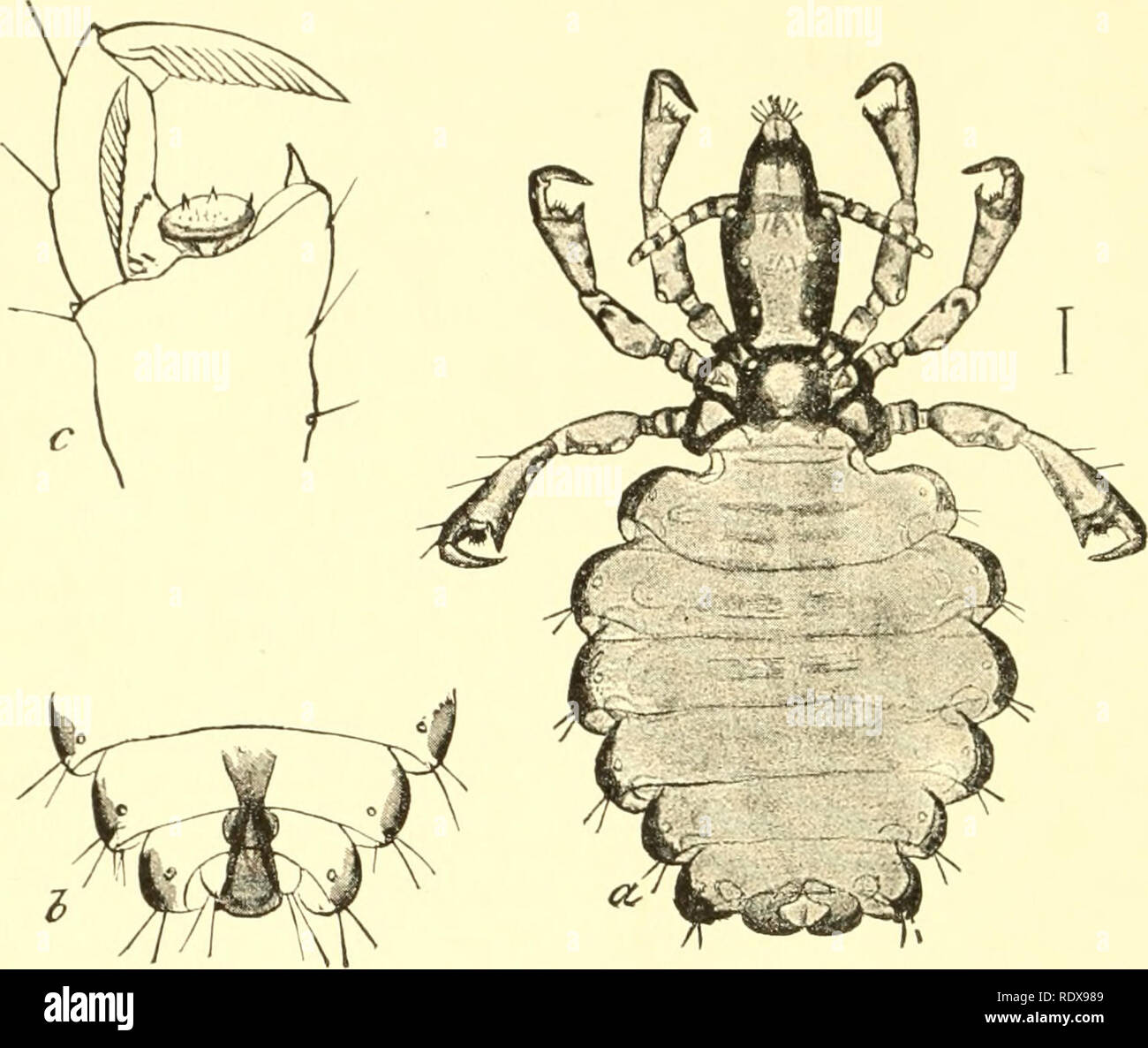 images of lice.html