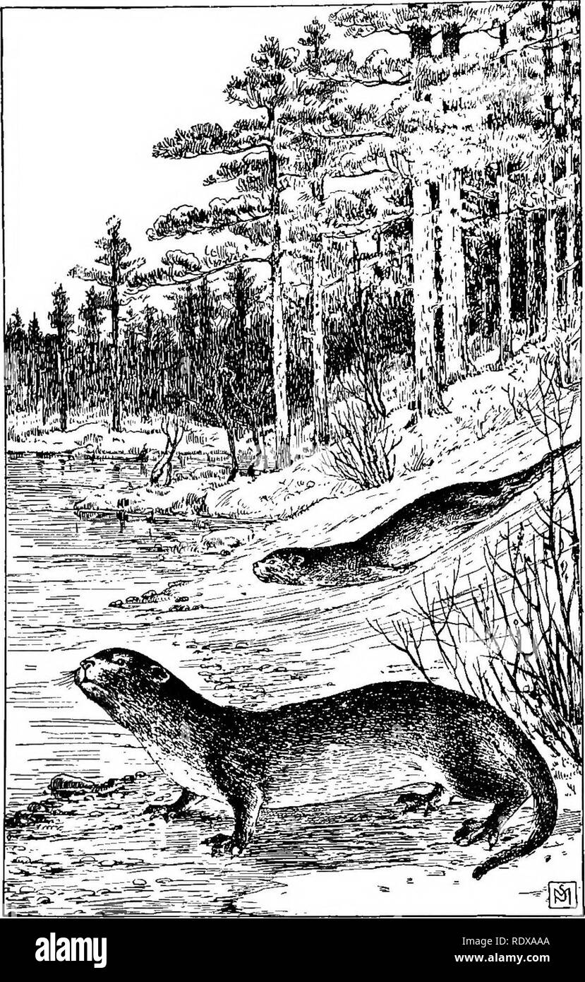 """. Familiar life in field and forest; the animals, birds, frogs, and salamanders. Zoology. THE OTTER. LUTRA CANADENSIS OR LUTRA HUDSONICA. """" The animal apparently enjoys a regular sort of toboggan slide."""". Please note that these images are extracted from scanned page images that may have been digitally enhanced for readability - coloration and appearance of these illustrations may not perfectly resemble the original work.. Mathews, F. Schuyler (Ferdinand Schuyler), 1854-1938; Underwood, William Lyman, 1864-1929, phot. New York, D. Appleton and Company Stock Photo"""