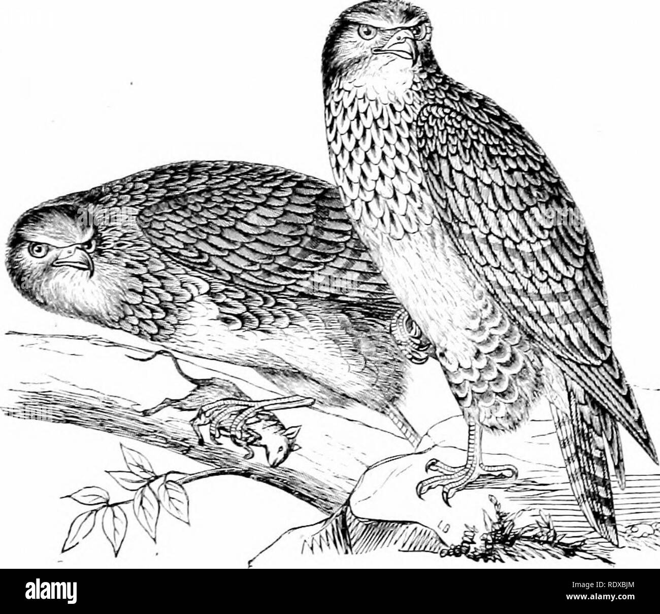 . Reptiles and birds : a popular account of their various orders : with a description of the habits and economy of the most interesting . Birds; Reptiles. HAEEIEES. 627 in her nest; these she killed, evidently feeling that she was not allied to them by anj' maternal tie. The principal species are the Common Buzzard {Buteo culgaris), Fig. 298, which is found all over Europe—it was until lately very common in England; the Honey Buzzard [Pernis apivorus), a native of Eastern Europe—this bird is partial to bees, wasps, and their larvse, of which its food principally consists—it will also eat grain - Stock Image