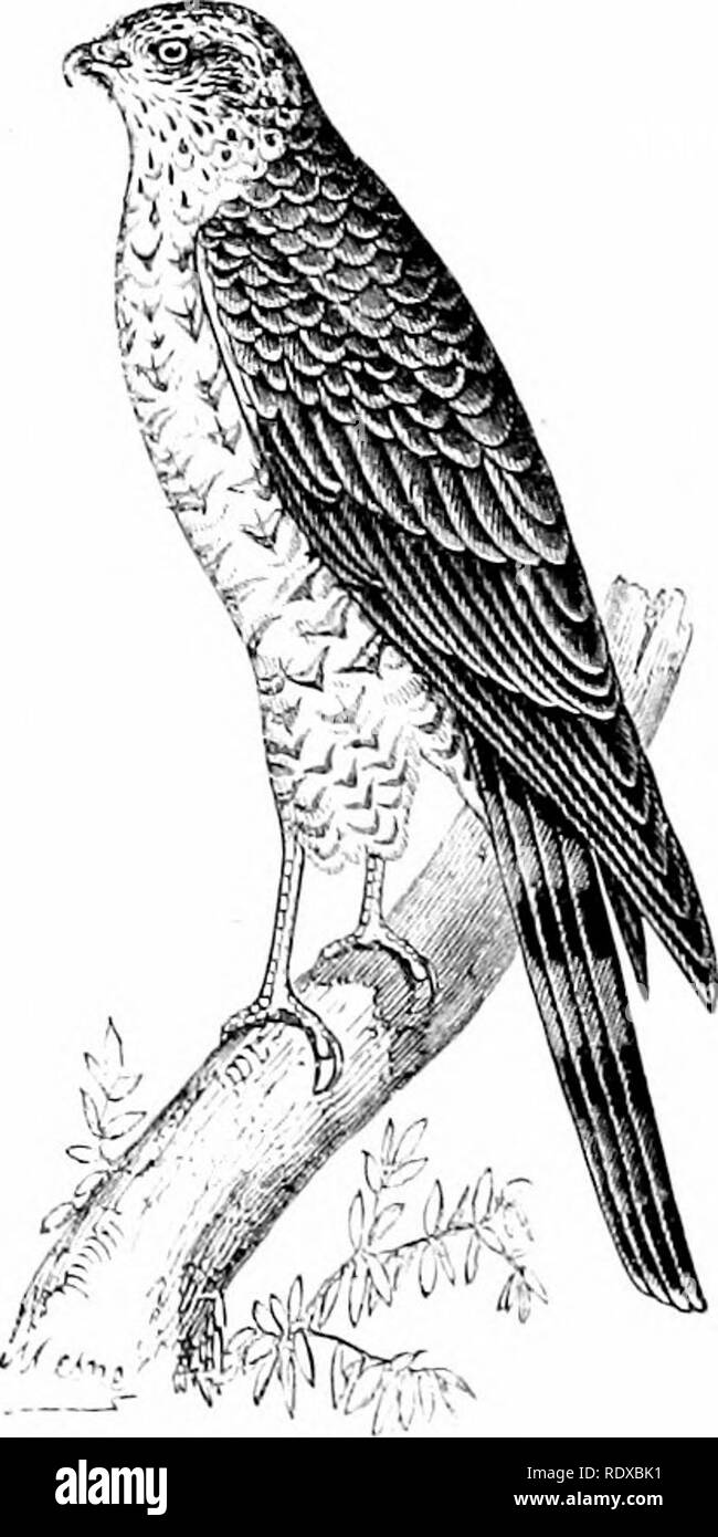 . Reptiles and birds : a popular account of their various orders : with a description of the habits and economy of the most interesting . Birds; Reptiles. -Uosliawks {Astiir pahim- Fig. 29(3.—Common SpaiTow-hnwk {Accipiier nisu.'i). woods which cover the mountain-sides, nud sometimes ventures near habitations to carry off Fowls and Pigeous. At the com- mencement of autumn it descends into the plains, making its iicst on the skirts of some extensive wood, from which it darts out upon Partridges, Grouse, or young Leverets, which form its. Please note that these images are extracted from scanned  - Stock Image