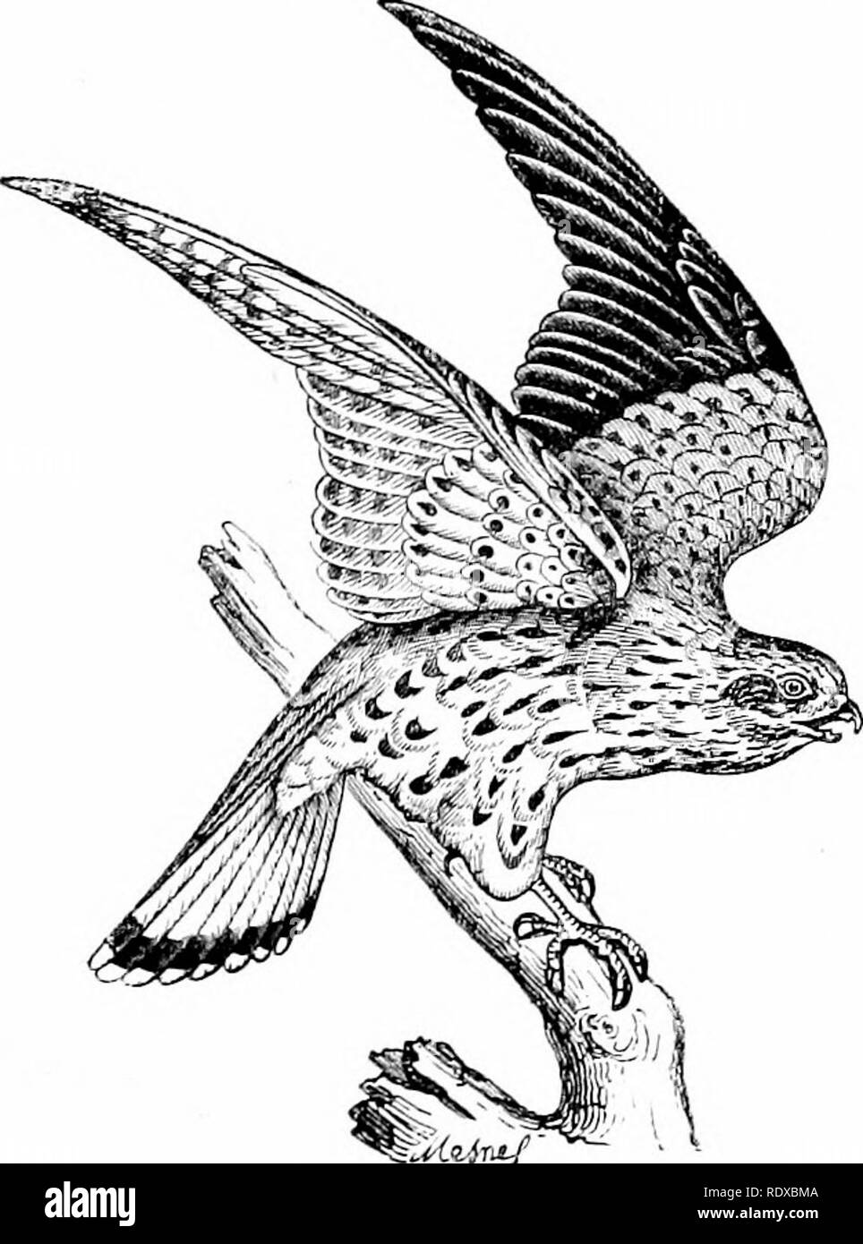 . Reptiles and birds : a popular account of their various orders : with a description of the habits and economy of the most interesting . Birds; Reptiles. HAWKINa. 013 There are other species of Falcons smaller than the precedinir. They are only distinguished from them by their size; their habits are identical, except that they prey on smaller birds, such as Quails, Larks, Swallows, and sometimes insects. These species are: the Hobby (Fig. 287), which is found all over Europe, and also in Africa—it is about a foot in height; the Merlin (Fig. 288), which is not much larger than a Thrush, and in - Stock Image