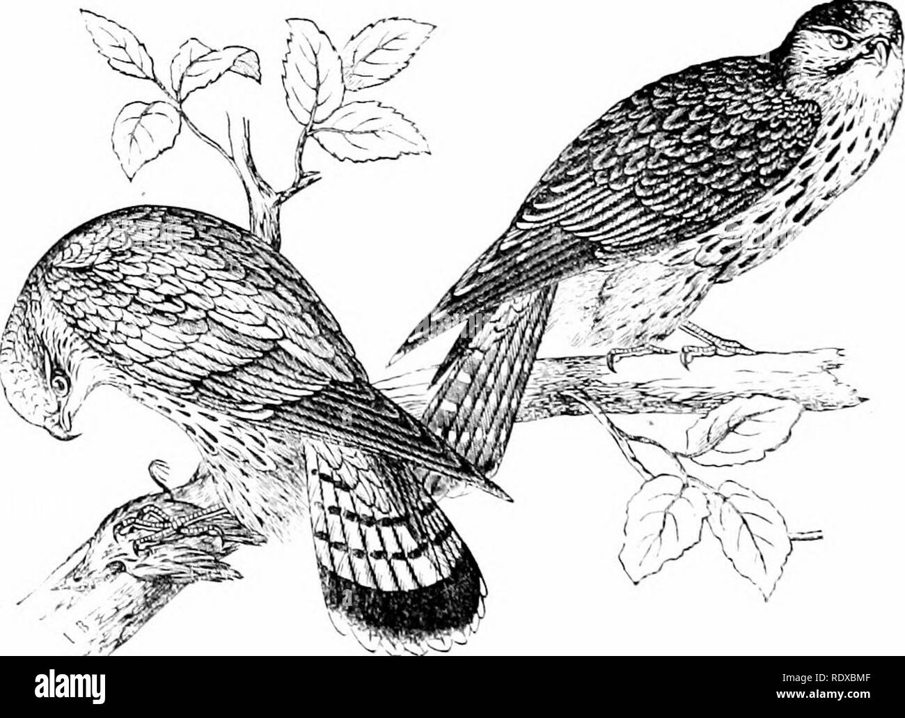 . Reptiles and birds : a popular account of their various orders : with a description of the habits and economy of the most interesting . Birds; Reptiles. Fig. 287.—The Hobby {Hypobuorckis suhbuteo). until able to provide for themselves : when that stage of maturity arrives thev are driven forth.. Fig. 3S8.-Jlfrlms [IJ. ^Esidon). The roiegiiuc Falcon is found among the cliffs of Normandy,. Please note that these images are extracted from scanned page images that may have been digitally enhanced for readability - coloration and appearance of these illustrations may not perfectly resemble the or - Stock Image